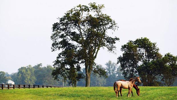 美國肯塔基州「三煙囪馬場」裡正在吃草的的2匹母馬。
