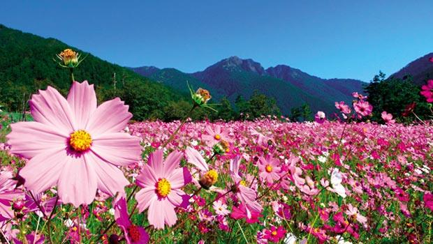 走完武陵的賞鳥賞蝶步道,也不能錯過農場裡初秋盛開的波斯菊花海。