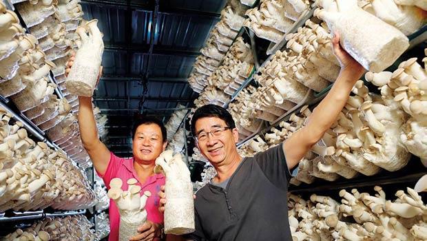 陳耀松(左)、王幼青(右)共同種出台灣市占率第一的杏鮑菇,每三朵就有一朵出自青松農場的庫房。