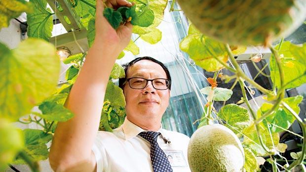 欣興電子把哈密瓜種在日照充足的冷氣房裡,環安處資深副總經理廖本衛強調,目前尚在實驗階段,還無法量產。