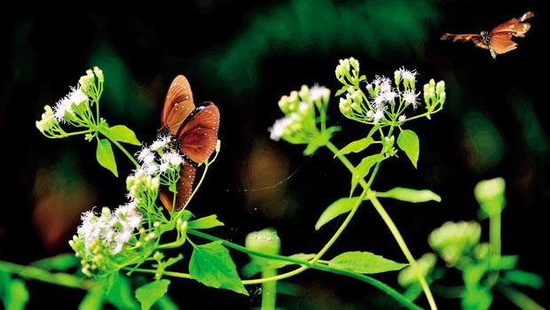 小紫斑蝶正在吸食香澤蘭花蜜,外來入侵植物香澤蘭被視為森林綠色之癌,卻是紫斑蝶越冬中期主要蜜源植物之一。