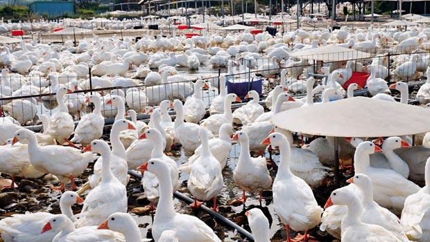 台灣史上最嚴重禽流感 元凶大追蹤