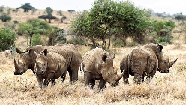 四頭南非白犀牛在歐喬基保護區擺出防禦的架勢。