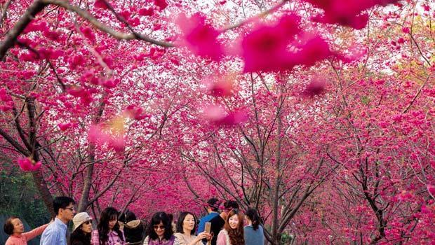 2月櫻花節及11月的花海,是新社休閒產業成功的關鍵。活動期間,每年吸引約300萬遊客前來,也帶旺餐廳、咖啡店生意。