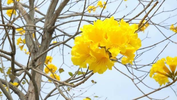 「黃色花海」好夯!為什麼中南部都在瘋黃花風鈴木?