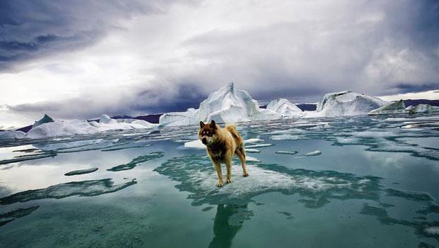 極地攝影師科本蘭拍攝所在的環境極其險峻,雪地裡的狗兒能預先警示北極熊出沒。