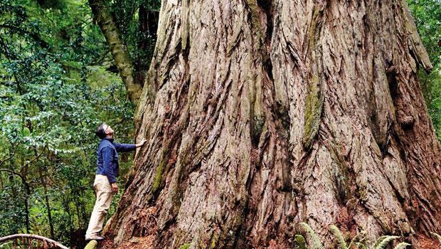 草原溪紅木州立公園中一棵巨大的紅木。