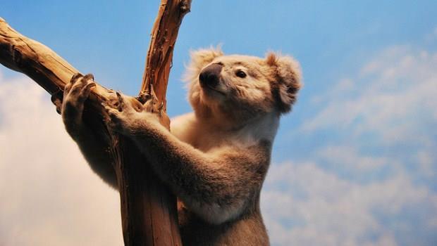 澳洲無尾熊
