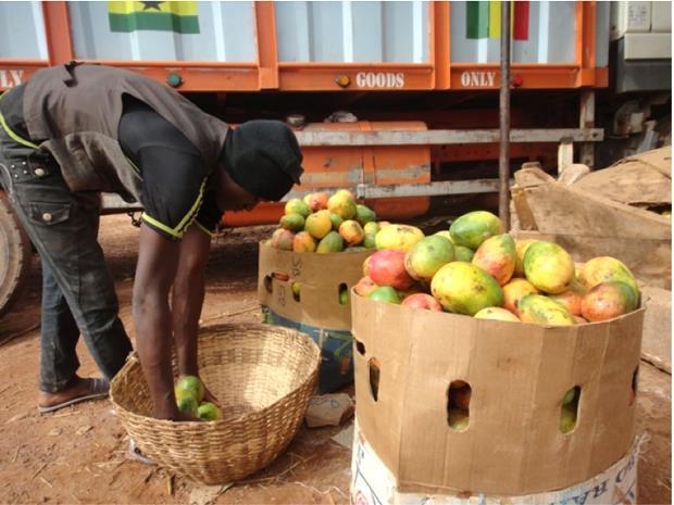 「幾大卡車芒果需在2個月銷完,不然就報廢」從非洲芒果一顆只能賣5元,看台灣農業的強大 - 商業周刊