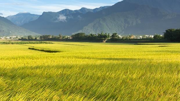 碰上天災,農民多痛苦你知道嗎?反對「天貓收購台灣米」的人,你為台灣米貢獻了什麼?