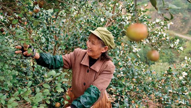 茶籽每年僅在霜降及立冬間採收,《alive》團隊跟著神茶油創辦人徐永達跋涉到江西婺源一探究竟。採茶籽經常得爬坡或上樹,相當辛苦,當地人練就一身好功夫。