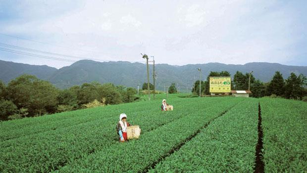 祇園辻利的自家茶園。
