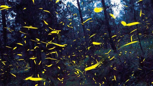 螢火蟲肩負墨西哥10多個小村的夏季觀光財源,創下經濟、生態雙贏的佳例。