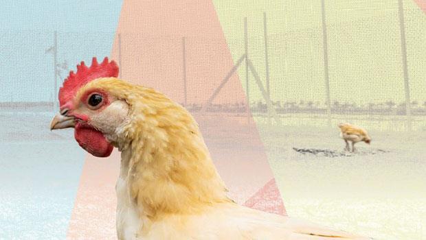 《alive 》邀請凱馨實業合作,養殖他們耗費多年才育種成功的土雞「桂丁雞」,比照法國布列斯雞高規格的養殖方式,首次在台灣進行。