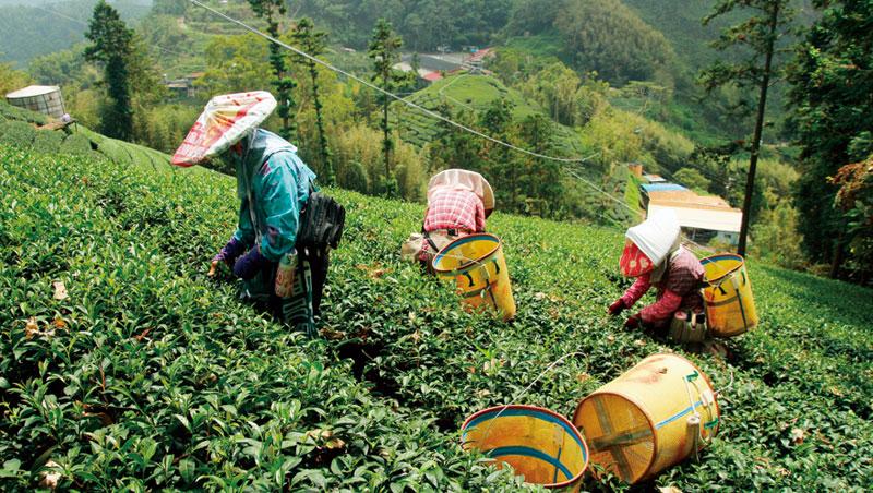 山勢高聳的阿里山高山茶區,採茶人於坡陵間攀爬採茶。