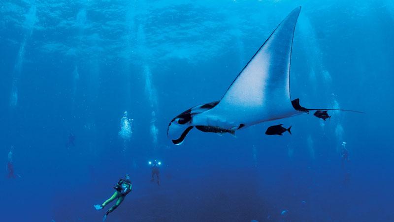 墨西哥雷維利亞希赫多群島是原始、未經過多觀光開發的珍貴潛水地;一隻巨型蝠魟迎面而來,圍繞著潛水愛好者優游。