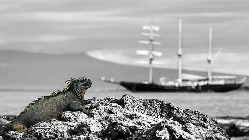 海鬣蜥,在加拉巴哥群島如月球表面般的黑色曠野,有幾十萬隻。探訪此島必須要很小心、很小心,稍不慎就會踩到這巨長的「蜥蜴」。