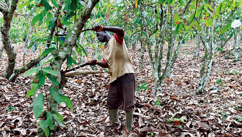 西非小國象牙海岸可可產量占全球近4成,不過當地農夫技術落後,種越多不見得賺越多,無法改善生計。