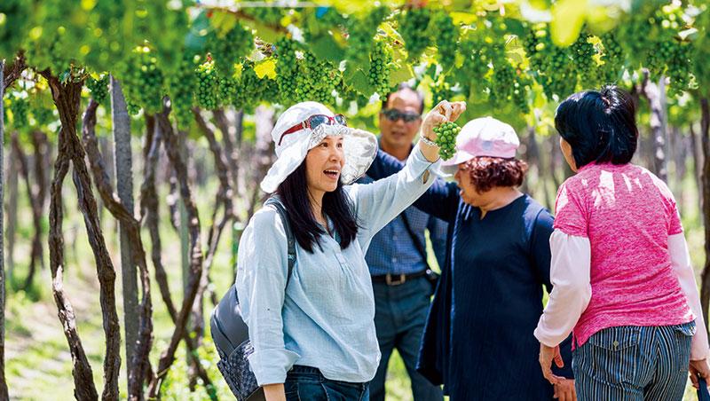 遊客在酒莊主人帶領下採摘葡萄。