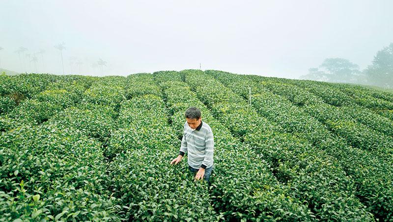 太興隆製茶廠主人葉俊良巡視自家青心烏龍茶園,該茶種占台灣總茶樹栽種面積5成以上,香氣表現佳及回甘度好,從平地至海拔1,000公尺以上高山茶園皆有種植。