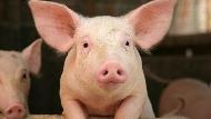 「豬器官」最快2年可移植到人體!科學家突破排斥反應,移植豬心、豬肺的動物都健康活了1年以上