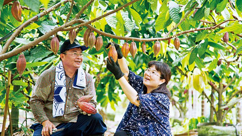 喜樂可可咖啡園主人張凱晃和陳美芳利用嫁接苗,短短8個月即可收成,並降低品種不確定因素。