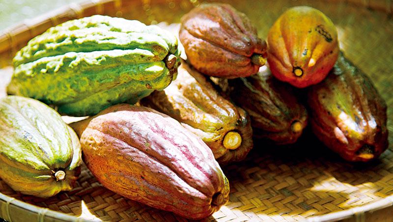 即使相同品種可可樹,結出的果實形態、顏色也可能不同,難以靠外表判斷,藉由品種鑑定有助農人篩選管理。