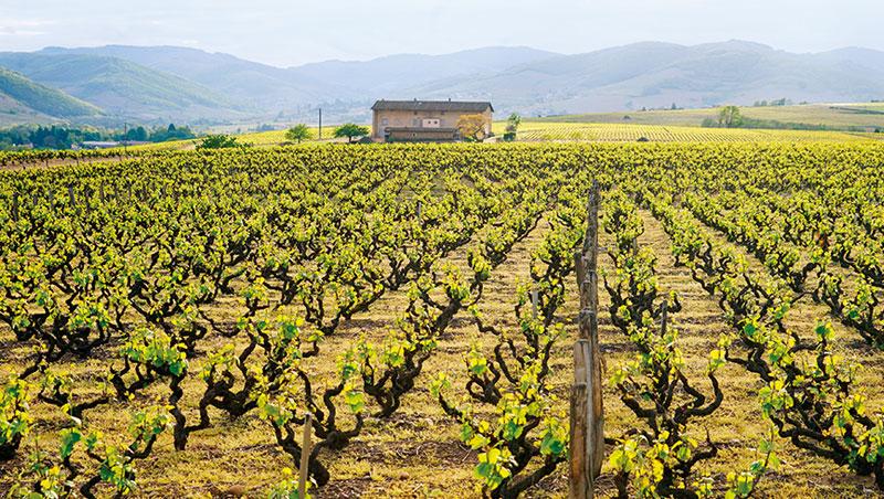 薄酒萊北部因為有更適合種植加美葡萄的火成岩山坡,是薄酒萊的精華區所在。