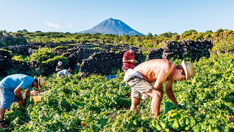 皮庫島特殊的葡萄園景觀已列入世界遺產,近年來酒款也廣受好評。遠方皮庫山係複式火-山,遊客可嘗試登頂。