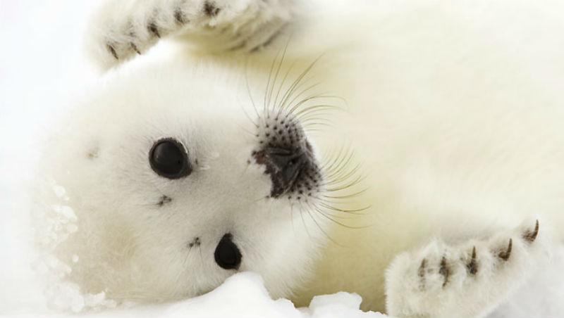 染血北極圈!圓滾滾、連游泳都還沒學會...冬季最萌小海豹,出生13天就被合法活活打死剥皮