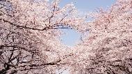 2018日本最新櫻花情報,今年恐怕提早開!人氣部落客:到京都沒來「這景點」賞櫻,等於沒來過