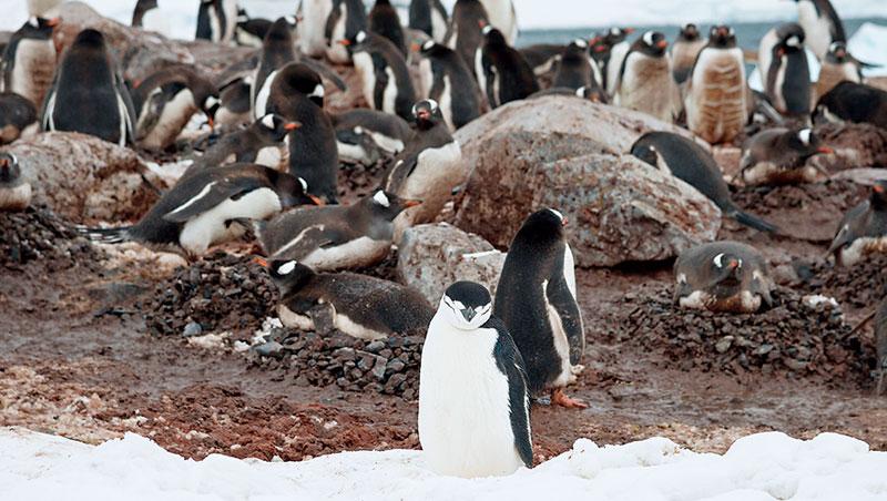 有隻認真勤快的公企鵝,辛辛苦苦一趟又一趟從海邊撿石頭回來,每次牠一放下再出發,隔壁賊鄰就立刻來偷