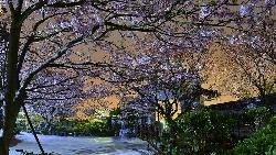 過年走春》不用去日本!禪味寺廟搭上滿滿吉野櫻...網友推薦全台熱門賞櫻景點