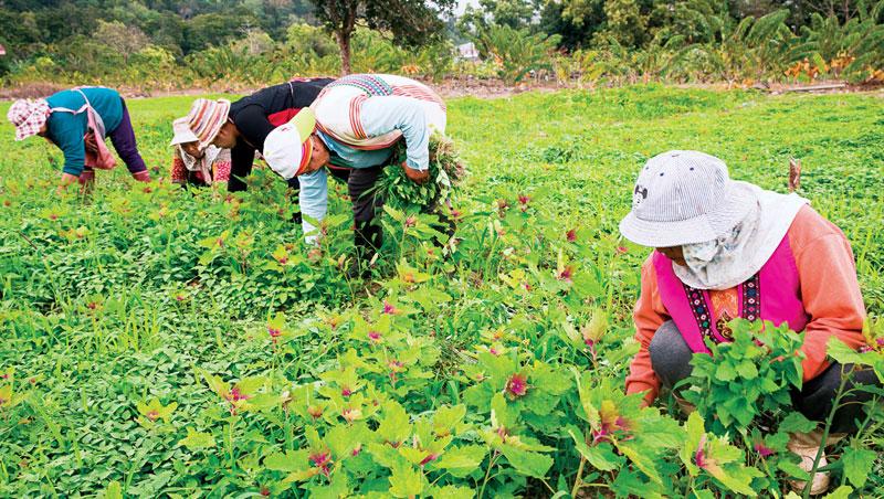 台灣紅藜不只穀粒可食用,嬌嫩的葉子也很美味。崁頂部落2月底疏拔紅藜株,取嫩葉食用成了當季常見的景象。
