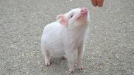 人類移植大突破?科學家實驗成功:身首分離的「豬腦」在異處,竟健康活了36小時