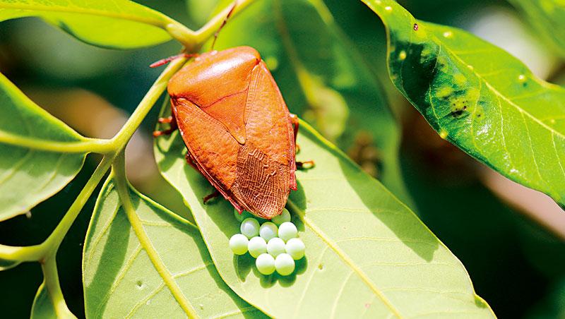 暱稱「紅魔鬼」的荔枝椿象於每年3至4月進入產卵高峰,是施放其天敵平腹小蜂卵片的最佳時機,可有效降低成蟲密度。