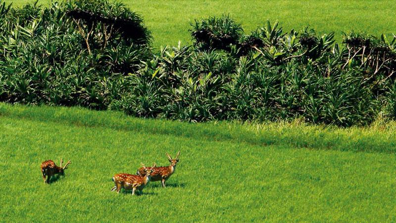 墾丁國家公園有台灣第一個梅花鹿復育站。車經龍磐草原,出現野放梅花鹿,直盯攝影記者的鏡頭。