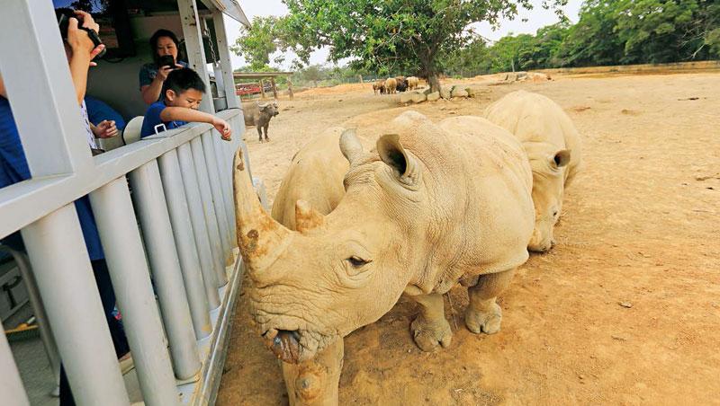犀望巴士緩緩駛入白犀牛群,可以近距離觀察、餵食,參與白犀牛保育課程。犀牛的嗅覺和聽覺很好,但是視力極差。
