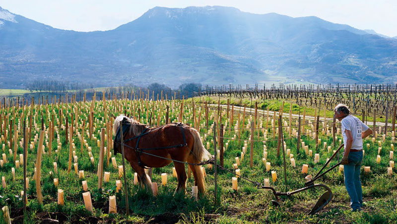 天然釀酒,自然派的葡萄園多採用有機或自然動力農法,馬耕是此農法的實踐之一。