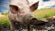 祭出20萬豬瘟罰單,為何仍照樣違規闖關?多國數據顯示,比傳統政策更有效的方法是...