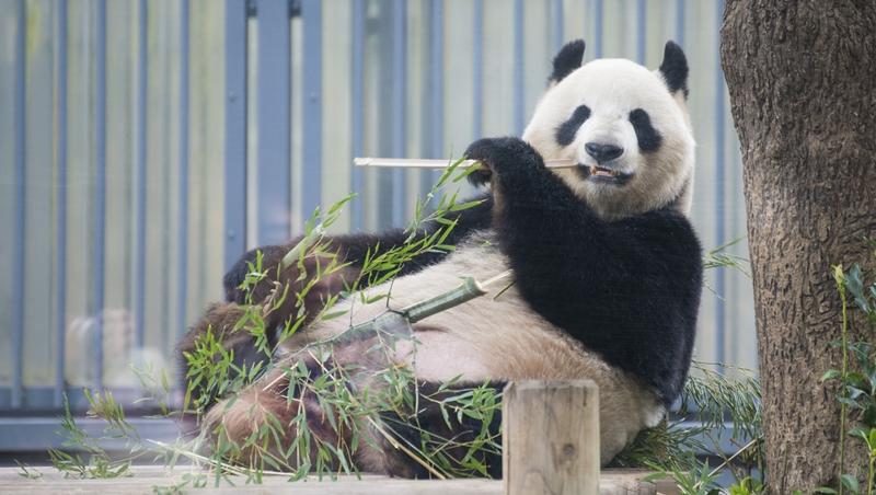 年花近1億日圓「租」貓熊...日本兩個動物園的「貓熊差別待遇」現象,給台灣的省思