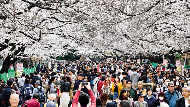 過去2年日本櫻花前線預測失準度提高,今年餵飽數據的AI再次加入預測行列,能否拉抬準確度,4月初見分明。